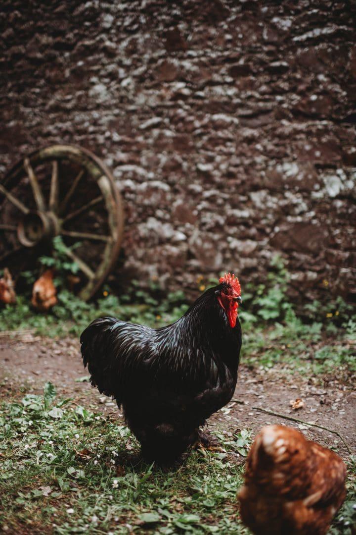 chickens at roulotte retreat, Scotland, Scottish Borders