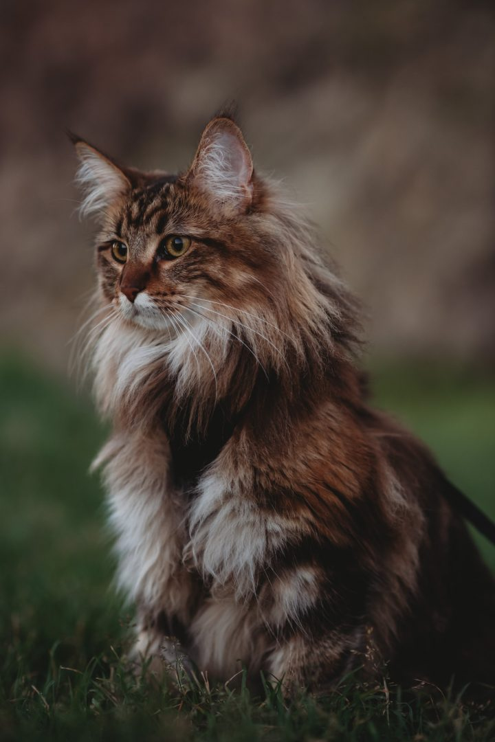 mainecoon on engagement session