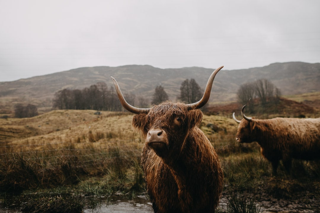 Wet highland cows, Scottish highlands