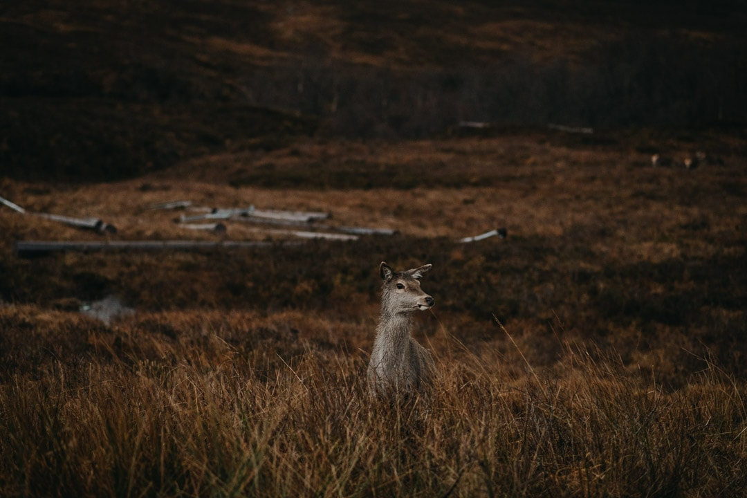 Meeting a deer on the roads to Glen Etive, backdrop to Skyfall during adventure session in the Scottish Highlands