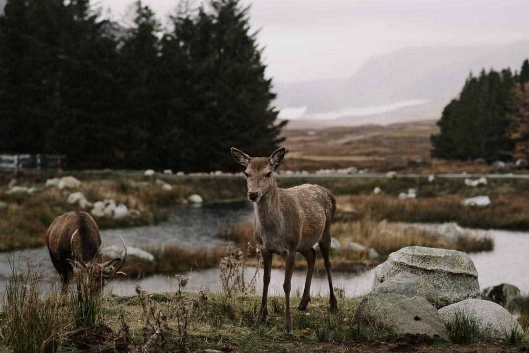 glencoe elopement highland deer kingshouse hotel